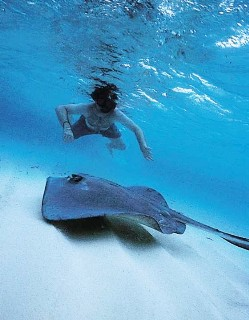 Photo of man snorkeling above a stingray in Grand Cayman goes here.