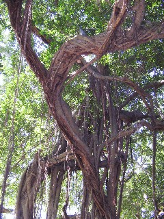 Photo of Banyan tree goes here.